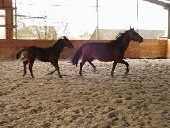 lija-svržno - Český teplokrevník - Koně na prodej