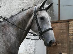 Calaeno - Český teplokrevník - Koně na prodej