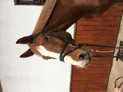 --- - Český teplokrevník - Koně na prodej