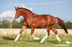 Darango - Český teplokrevník - Pronájem koně