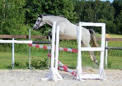 Princ Bajaja - Český sportovní pony - Koně na prodej