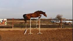 Conrad - Český teplokrevník - Koně na prodej