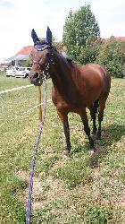 Sid 7 - Český teplokrevník - Koně na prodej