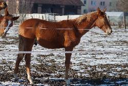 Pepén de Melany - Český teplokrevník - Koně na prodej